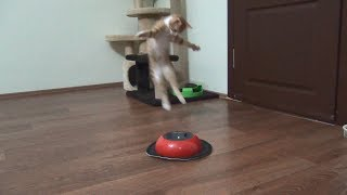 Kitten fights with cleaning robot