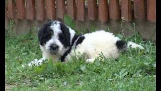Romanian mioritic shepherd or sheepdog puppies and adults