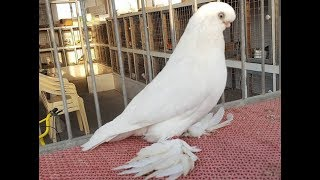 Cute fancy pigeons breeding pair – Birds videos