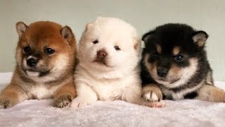Cute Puppies Funny Things – Cutest Puppies Ever Compilation | Most Funny Dogs In The World