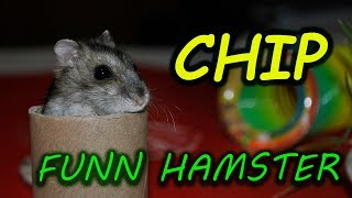 My djungarian hamster Chip