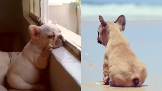 Funny and cute French Bulldog puppy compilations | Cute dogs doing funny things 2019