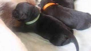 Our labrador puppies (3 days old)
