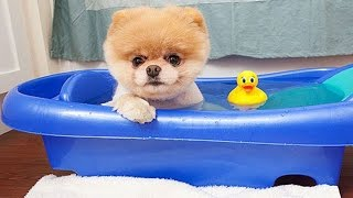 Boo – The World's Cutest Dog Video Compilation | Pomeranian Puppies cute pet