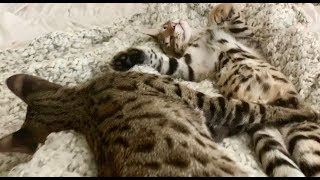 Cats Dreaming And Twitching 💤/Cute Cat Videos