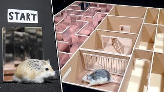Funny Pet Hamster and Rat in 3-Level Maze