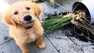 Funniest & Cutest Golden Retriever Puppies #26 – Funny Puppy Videos 2019