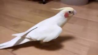 Happy and funny birds compilation | Cockatiel | Lovely | Beautiful singing ASMR #ParrotWorld