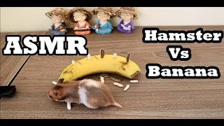 Funny Hamsters | Hamsters Vs Banana , ASMR eating sounds no talk