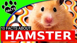 10 Hamster Facts – All About Hamsters