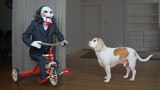 Dogs vs Jigsaw Prank: Funny Dogs Befriend Billy the Puppet From Saw Movie