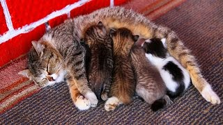Mom cat feeding five cute meowing kittens