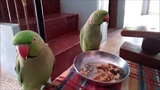 Talking parrots – fruits and nuts