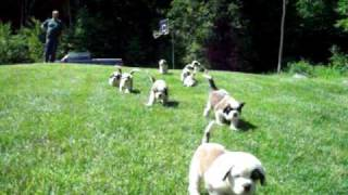Litter of 12 AKC Saint Bernard Puppies