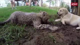 Cheetah and Puppy are Best Friends