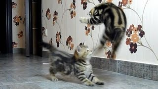 Funny Cats Compilation of fighting, dancing and playing  Cute Kittens