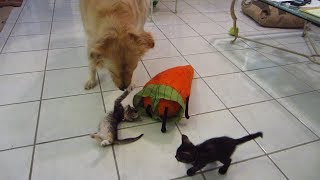 Silly Kitten Bops Big Dog's Nose & Playing with Stuffed Carrot Toy – Golden Retriever