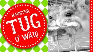 Cute Hamsters:  Apple Treat Tug O'War | 2 Funny Hamsters fight for Apple Treat | by Jo Sunshine