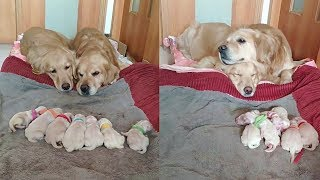 Golden Retriever Parents Watching Over Their Newborn Puppies