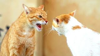 Funny Cats Arguing – Cats Talking To Each Other Compilation    NEW HD