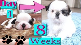 Shih Tzu Growing Up | Day 1 to Week 8 | Puppy Transformation | TOO CUTE