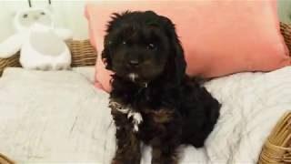 Alaska's Toy Cavoodle Girl 2546 – Pocket Puppies