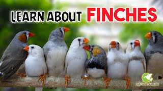 Learn About Finches ( A Little Cute Bird ) In Tamil | Ajay Birds Breeder