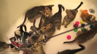 Savannah Kittens Playing