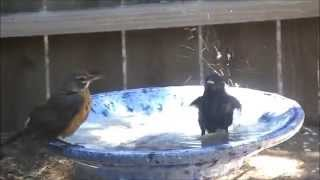 Funny Birds fighting over birdbath