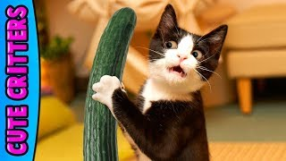 Try Not To Laugh: Funny Cats & Kittens – Cute, Cuddly & Clumsy :: Best New Compilation 2017 😺