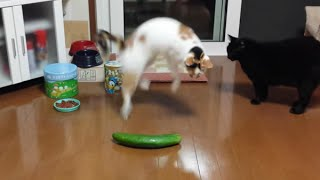 Funny Cats Scared of Random Things and Cucumbers Compilation!