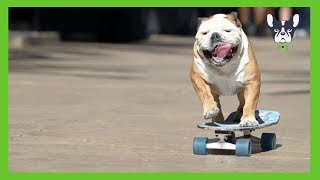 Funny Dogs Skateboarding Compilation – Dogs Community