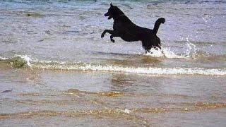 Funny Dogs Playing Fetch In Sea At Goa Beach – Pets and Animals Video