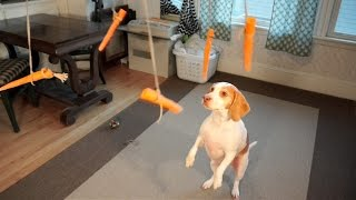 Dog vs. Flying Carrots: Funny Dog Maymo