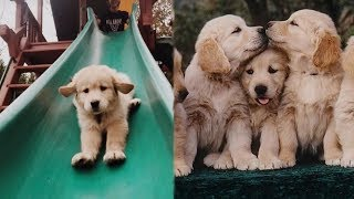Funny and Cute Golden Retriever Puppies Compilation #2 – Cutest Golden Retriever