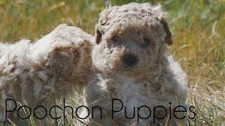 Poochon puppies playing outside