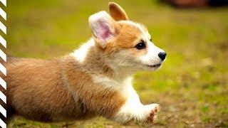 Cutest Puppies Doing Funny Things – Cute And Funny Puppy Moments – The Dog Squad