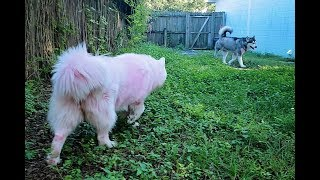 Funny Dogs Vlog | Husky Chases Malamute Into The House