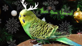 Teodoro, Budgie happy for Christmas/ Lorito feliz por la Navidad/ Cute birds/ TheirOwnChannel