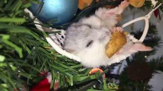 Cute, #funny or relaxing #HAMSTER videos – Pampered #hamsters