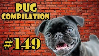 Pug Compilation 149 – Funny Dogs but only Pug Videos | Instapug