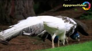 Funny birds dance, hot video funny animal Compilation 2016 by Moi Vlogs