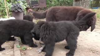 Newfoundland puppies in countryside