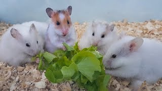 Hamsters Enjoy With Safe Vegetables – Eating Food And Have Fun