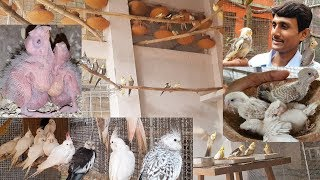 Cockatiles Cage Setup,Breeding,Care Important Information / Best Birds For Home as a Pet.