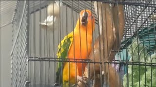 ANGRY BIRDS Funny Animals Videos Funny Fails Comedy Conure's Bell