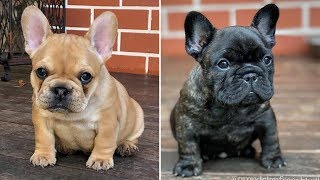 Funny and cute french bulldog puppies Compilation #95 | Dogs Awesome