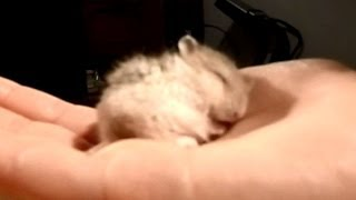 My Baby Hamster Snoring CUTE