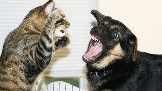 Cute Dogs And Cat Moments – Cat Fighting Dogs