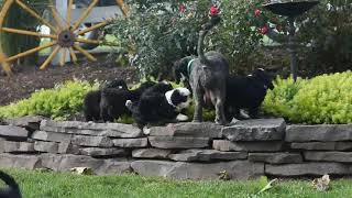 Miniature Bernedoodle Puppies For Sale Mary Stoltzfus